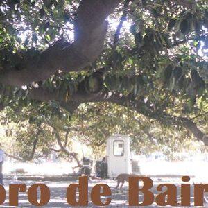 El Gomero o Ficus elástica de Plaza Lavalle
