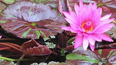 Los Nenúfares del Jardín Botánico